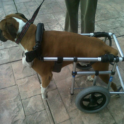 Adjustable Hind Wheelchair to Rent - HolisticPet